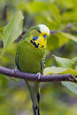 English Budgerigar Stock Photo