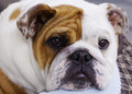 English bull dog puppy the bulldog is a muscular with a wrinkled face and a distinctive pushed in nose the breed has a Royalty Free Stock Photography