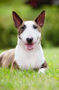 English bull terrier dog outdoors brindle Royalty Free Stock Images