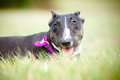 English bull terrier dog portrait Royalty Free Stock Image