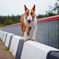 English bull terrier thoroughbred dog canine friend red dog Stock Photography