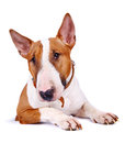 English bull terrier thoroughbred dog canine friend red dog portrait of a dog Royalty Free Stock Image