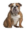 English Bulldog, 10 months old, sitting Royalty Free Stock Photo