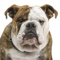 English Bulldog (6 months) Stock Image