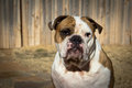 English bulldog backyard a brindle and white purebred poses in a Stock Image