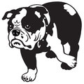 English Bulldog Black White