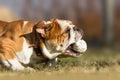 English Bulldog chasing a ball close catch Royalty Free Stock Photo