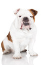 English bulldog dog on white Royalty Free Stock Images