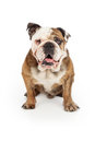 English bulldog happy face a sitting against a white backdrop Stock Photos