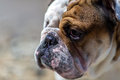 English bulldog looking out from under his brows stern Stock Photo