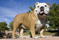 English Bulldog Portrait Stack Stock Images