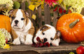 English bulldog puppies and a pumpkin Stock Photos