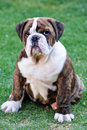 English bulldog puppy Royalty Free Stock Photography