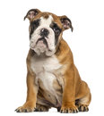 English bulldog puppy months old sitting isolated on white Stock Photos