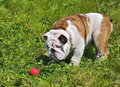 English bulldog puppy playing with a red ball on the green lawn of the park Stock Photos