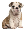 English Bulldog puppy sitting, 2 months old Stock Photos