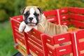 English Bulldog Puppy Standing on Red Wagon