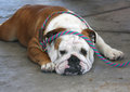 English Bulldog relaxing Royalty Free Stock Photography