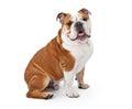 English Bulldog Sitting Royalty Free Stock Photo