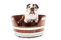 English Bulldog Sitting in a Dog Bed Royalty Free Stock Photo