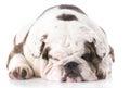 english bulldog sleeping Royalty Free Stock Photo