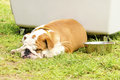 English bulldog a small young beautiful brown and white lying down on the lawn sleeping looking very peaceful lazy and tired Royalty Free Stock Photography