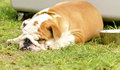 English bulldog a small young beautiful brown and white lying down on the lawn sleeping looking very peaceful lazy and tired Royalty Free Stock Image