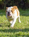 English bulldog a small young beautiful brown and white running on the lawn looking playful and cheerful the is a muscular Royalty Free Stock Image