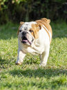 English bulldog a small young beautiful brown and white running on the lawn looking playful and cheerful the is a muscular Royalty Free Stock Photos