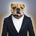 English bulldog wearing a suit colored background Royalty Free Stock Photo