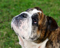 English bulldog wrinkly purebred Royalty Free Stock Photo