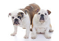 English bulldogs Royalty Free Stock Images