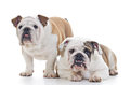 English Bulldogs Stock Photo
