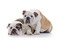 English bulldogs Royalty Free Stock Photo