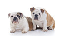 English bulldogs Stock Images