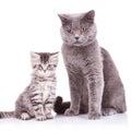 Inglés gatos adulto y
