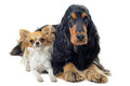English cocker and chihuahua Stock Photography