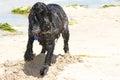 English cocker spaniel on the beach a blue roan digging a whole a white sandy Stock Photos