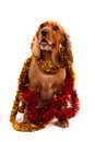 English cocker spaniel dog and christmas ornament surrounded by red yellow ornaments isolated on white background Royalty Free Stock Photo