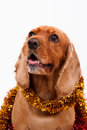 English cocker spaniel dog and christmas ornament surrounded by yellow isolated on white background Stock Photography