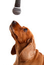 English cocker spaniel dog and microphone with isolated on white background Stock Images