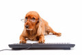 English cocker spaniel dog typing keyboard with its pathies isolated on white background Stock Photos