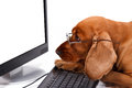 English cocker spaniel dog using keyboard and looking monitor blank white screen with its glasses carefully isolated on white Stock Photography