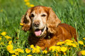 English cocker spaniel in flower field of yellow dandelions Royalty Free Stock Image