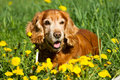 English cocker spaniel in flower field of yellow dandelions Stock Photos