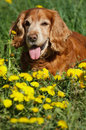 English cocker spaniel on the flowers Stock Images