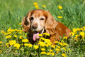 English cocker spaniel on the green grass Stock Images