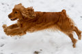 English Cocker Spaniel Jumping Royalty Free Stock Photo