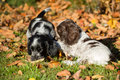 English Cocker Spaniel puppies Royalty Free Stock Photo