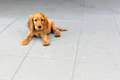 English cocker spaniel puppy on the sidewalk Stock Photo